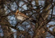 Feldfare sur un arbre en hiver Photo libre de droits