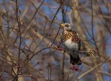 Feldfare sur un arbre en hiver Photographie stock