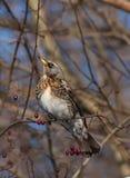 Feldfare sur un arbre en hiver Photographie stock libre de droits