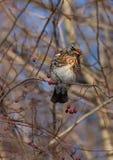 Feldfare sur un arbre en hiver Images libres de droits