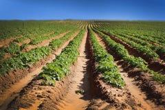 Feldfrüchte mit Horizont des blauen Himmels Stockfotografie