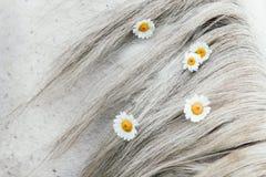 Feldgänseblümchen in der Mähne eines Grauschimmels lizenzfreie stockfotografie