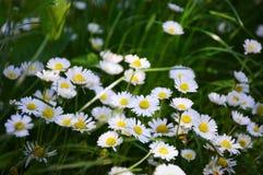 Feldgänseblümchenblumen Stockfotografie