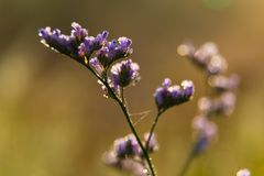 Feldherbstblume im Sonnenlicht Statice Stockfoto