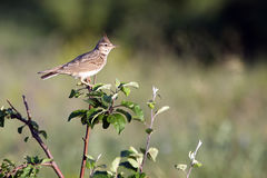 Feldlerchen-Vogel Stockfotografie