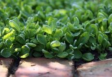 Feldsalat auf dem Gartenbett Lizenzfreies Stockfoto