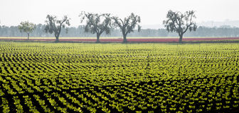 Feldsalat mit Olivenbäumen Lizenzfreie Stockfotos