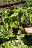Feldsommer des grünen Salats des Korbes Lizenzfreie Stockfotografie