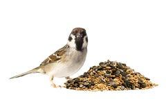 Feldsperling und Vogelfutter Stockfotos