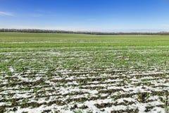 FeldWinterweizen unter Schnee Stockbild