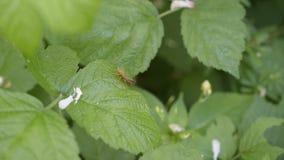 Felet för skölden för den krypPentatomidae skalbaggen sitter i grön bladmakro stock video