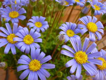 Felicia-amelloides Blume des blauen Gänseblümchens Lizenzfreie Stockbilder