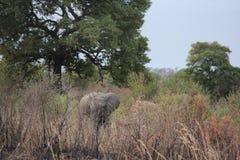 Felicidad y libertad de elefantes salvajes africanos de la vida imagenes de archivo