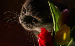 A felicidade azul da celebração da tulipa do russo do gato e do retrato das flores sorri Fotos de Stock