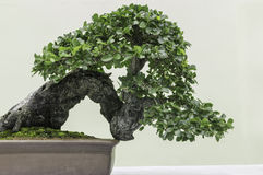 Felicitous Bonsai. Bonsai for pleasant and ingenuity Stock Images
