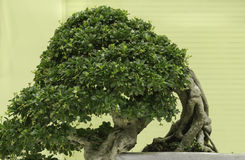 Felicitous Bonsai. Bonsai for pleasant and ingenuity Royalty Free Stock Photos