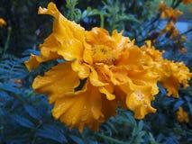 felik blomma Royaltyfria Bilder