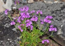 Felik digitalisErinus alpinus royaltyfria foton