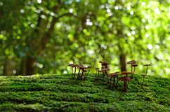 Felika färgpulverlocksvampar på mossigt träd Fotografering för Bildbyråer