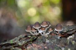 Felika inkcapsvampar som växer på en trädstubbe Arkivfoto