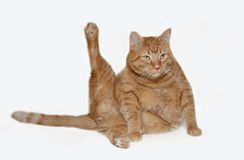 Feline aerobics. A tubby ginger-coloured cat poses with its legs and tail spread out in right angles giving the impression that it is doing leg raises a la Royalty Free Stock Photo