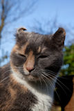 Feline aural haematoma. Stock Images
