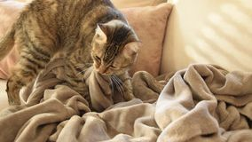 Feline behavior - cat kneading and sucking on blankets. Feline behavior - european cat kneading and sucking on blankets stock footage