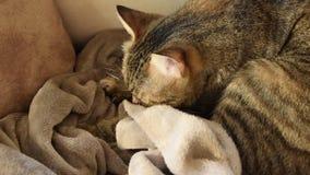 Feline behavior - cat kneading and sucking on blankets. Feline behavior - european cat kneading and sucking on blankets stock video