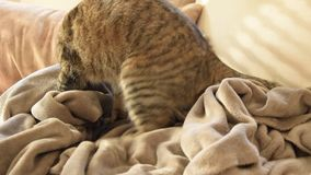 Feline behavior - cat kneading and sucking on blankets. Feline behavior - european cat kneading and sucking on blankets stock video footage