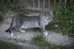Feline, domestic animal, mammal. Cute cat with grey fur walk on garden path on summer day. Pet, companion, friend royalty free stock photos