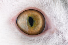 Feline eye Royalty Free Stock Photography
