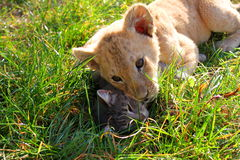 Feline family. Two cubs - one cat and one lion playing and showing their affection Stock Photos