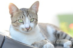 Feline. A Feline gazing to you with prying eyes stock images