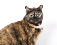 Feline with green eyes staring at camera. Brown domestic cat with green eyes looking directly at the camera. Photo taken on a white background Royalty Free Stock Image