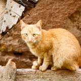 Feline in morocco     africa and sweet face Royalty Free Stock Photo