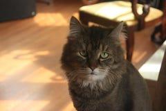 Feline portrait Stock Photography