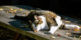 TABBY CAT STRETCH. Feline resting on a table on a warm, summer day Royalty Free Stock Photos