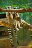 Two cute ring-tailed lemurs sitting on a tree stock photos