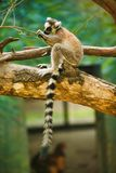 One cute lemur with a ringed tail sits on a tree and eats little leaves. Beijing, China. royalty free stock images