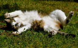 TABBY CAT STRETCH. Feline rolling in the grass on a sunny, summer day Stock Image