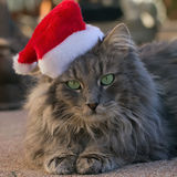 Feline Santa. Grey cat posing with a Santa hat Stock Photo
