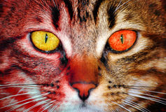 Feline scary eyes. Feline face with one yellow eye and one red eye royalty free stock photos