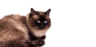 feline siamese white för djur bakgrundskatt arkivbild