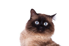 feline siamese white för djur bakgrundskatt royaltyfri foto