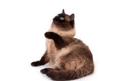 feline siamese white för djur bakgrundskatt arkivfoton