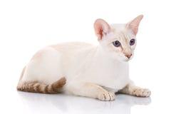 feline siamese white för djur bakgrundskatt arkivfoto