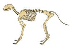 Feline skeleton. 2d cartoon illustration of feline skeleton Stock Photography