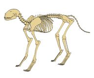 Feline skeleton. 2d cartoon illustration of feline skeleton Royalty Free Stock Photography