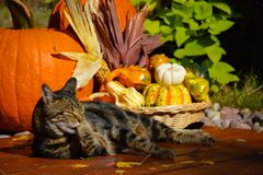 Tabby cat and pumpkins. Feline washing in the autumn sun with thanksgiving decor in the background Stock Images