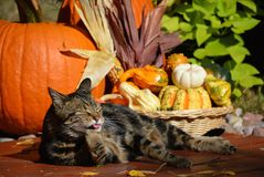 Tabby cat and pumpkins. Feline washing in the autumn sun with thanksgiving decor in the background Royalty Free Stock Photography